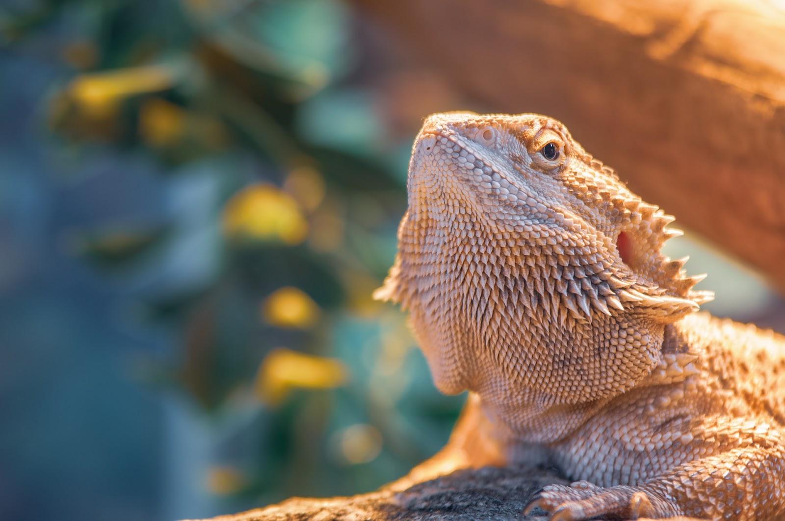 Bearded dragon basking