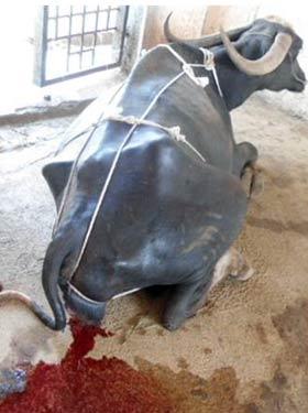 Severe postpartum hemorrhage in a parturient buffalo with genital prolapse immediately postpartum.