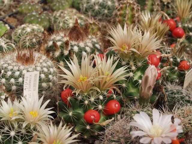 Escobaria_missouriensis_wissmannii_GK_1198'90_Ak1_ref-297.jpg