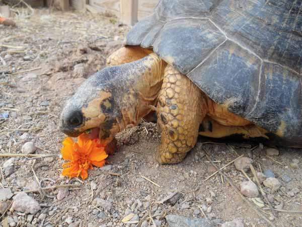 Image result for radiated tortoises food