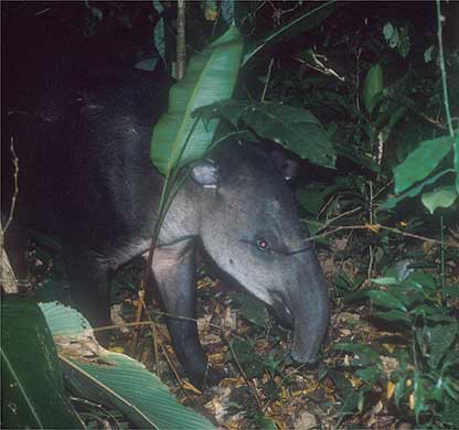 Tapirs are elusive animals that rarely come into plain view.