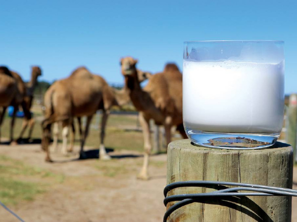 Miraculous Properties of Camel Milk