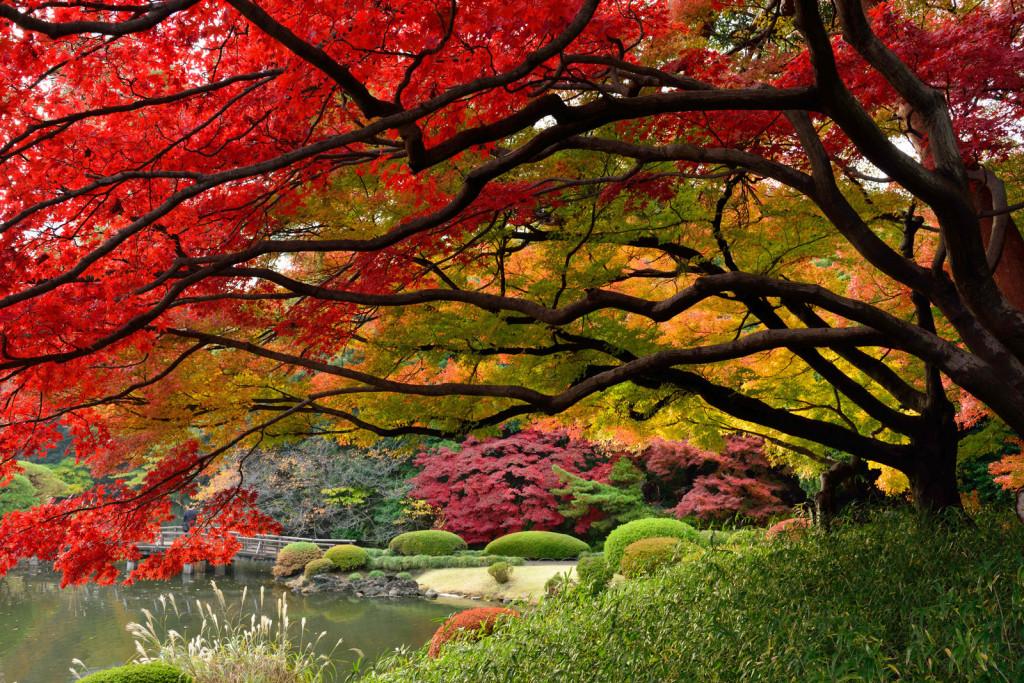 Vẻ đẹp của lá phong đỏ tại Nhật Bản