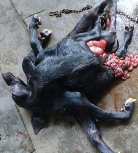 A monocephalus buffalo fetus with a single head and 8 limbs.