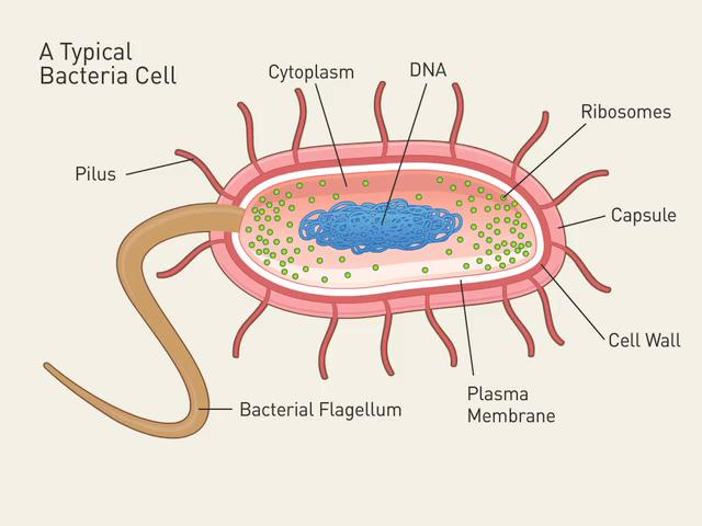 Orangesdms bacteria dr image result for cell structure of a bacteria ccuart Gallery