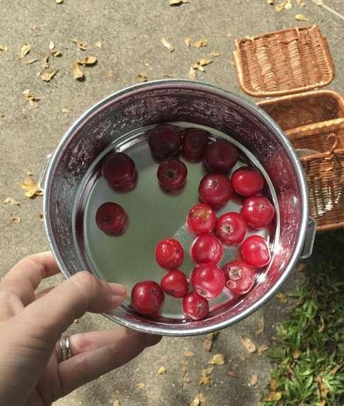 Rukam masam berries make a delicious jam.