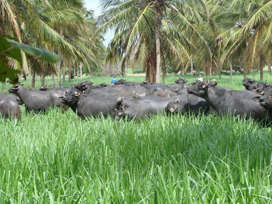 The use of silvopastoral systems should be recommended to mitigate the thermal stress of dairy buffaloes in southern hemisphere countries.