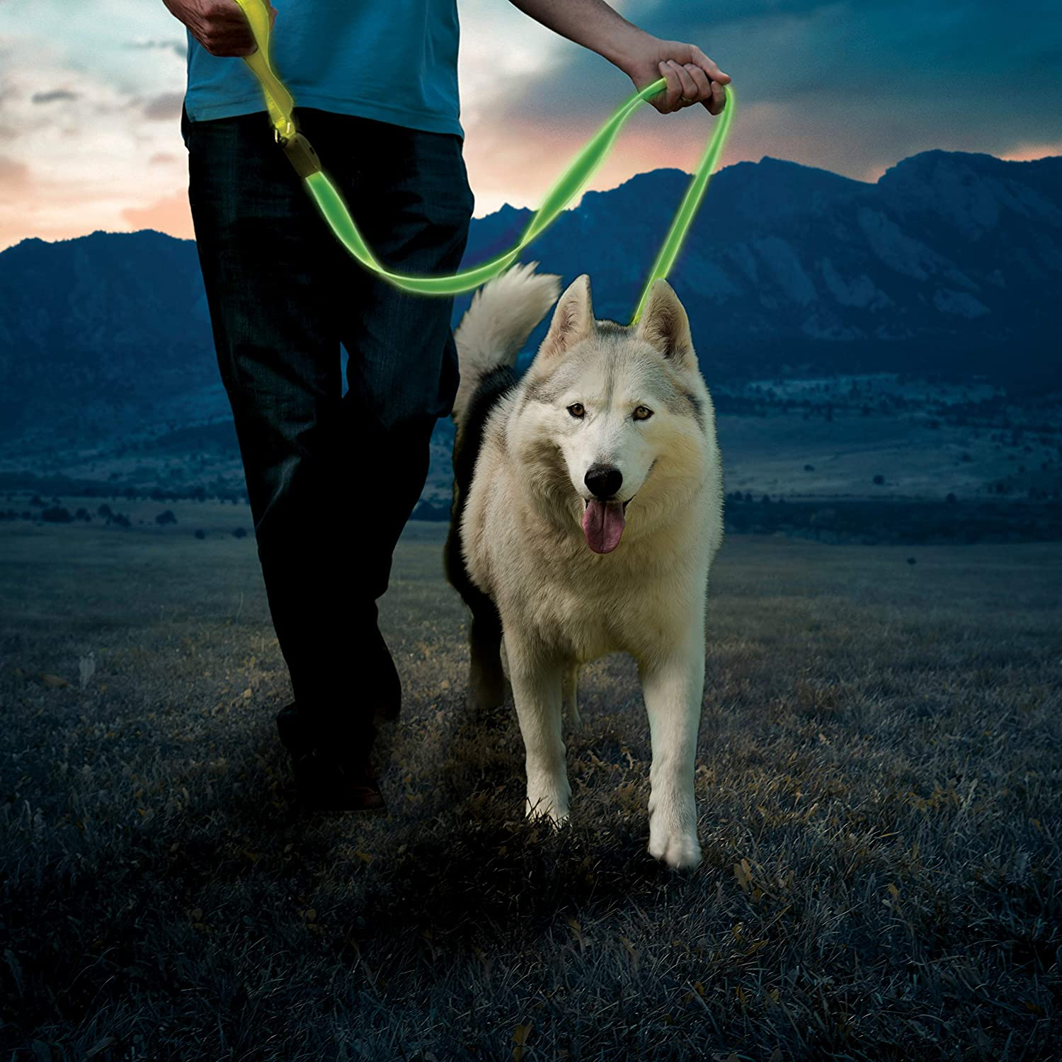 Husky being walked on LED leash