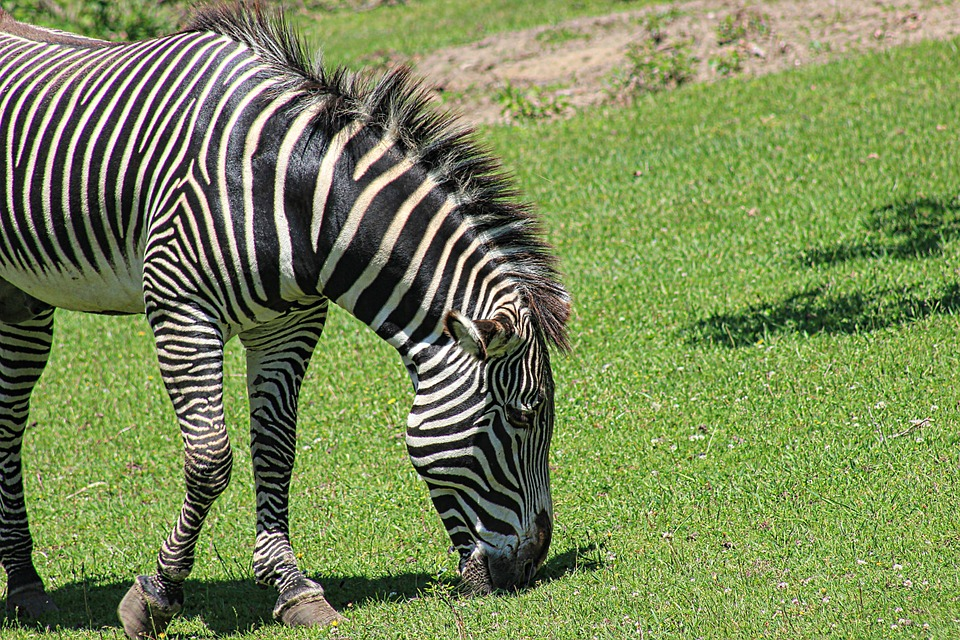 Free photo Zoo Animals Zebra Wildlife Zoo Stripes Animal - Max Pixel