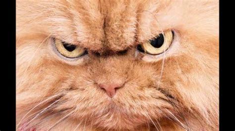angry cat animal ringtones sfx youtube