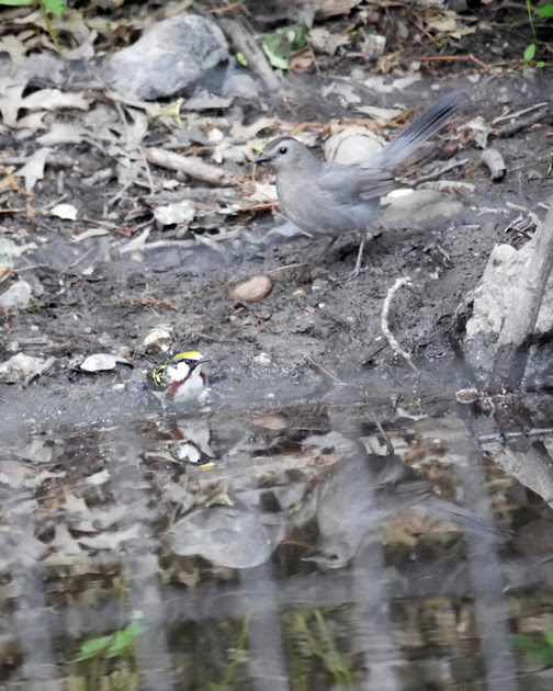 Ed Gaillard: birds &emdash; Chestnut-Sided Warbler and Gray Catbird, Tanner's Spring, Central Park