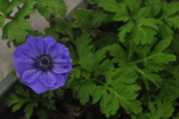 The only windflower I had all year, decimated by hungry mealy bugs.