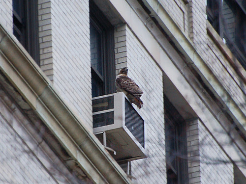 Hawk at St. Luke's