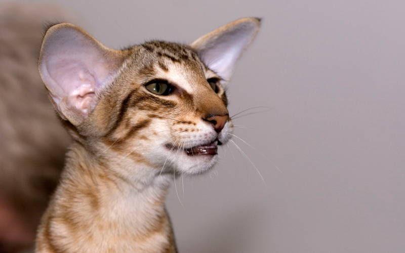 Orientalny Kot Czarny