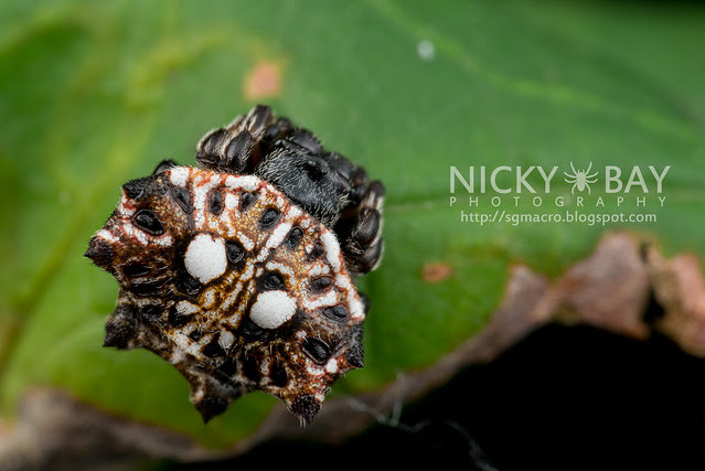 Spiny Back Orb Weaver (Thelacantha sp.) - DSC_7349