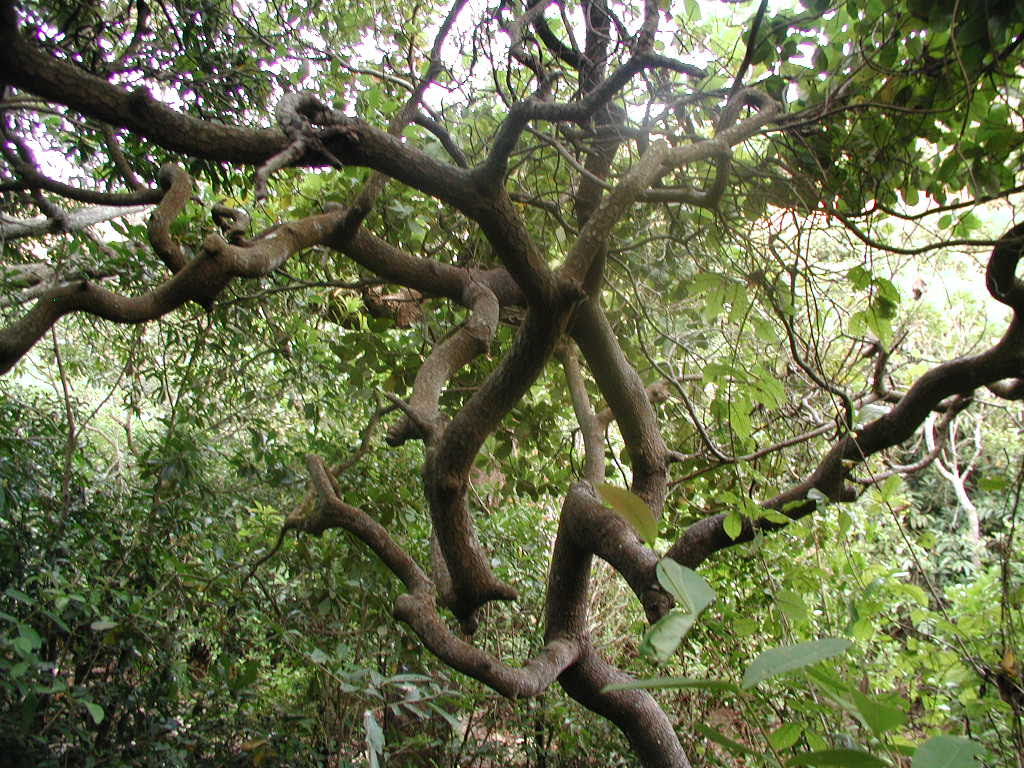 Image result for banyan tree branch