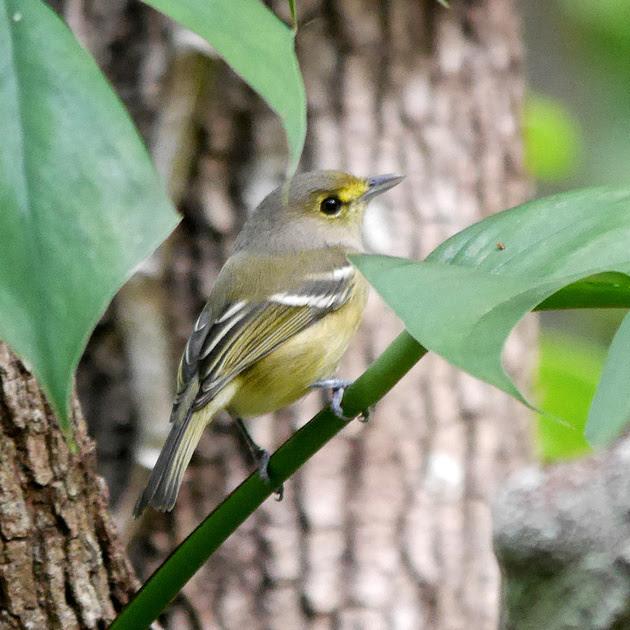 Ed Gaillard: birds &emdash; Thick-Billed Vireo, New Providence, Bahamas