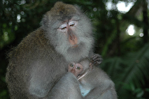 Long-tailed Balinese Macaques @ Ubud's monkey forest sanctuary