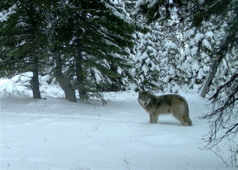 oregons gray wolves   regain endangered species