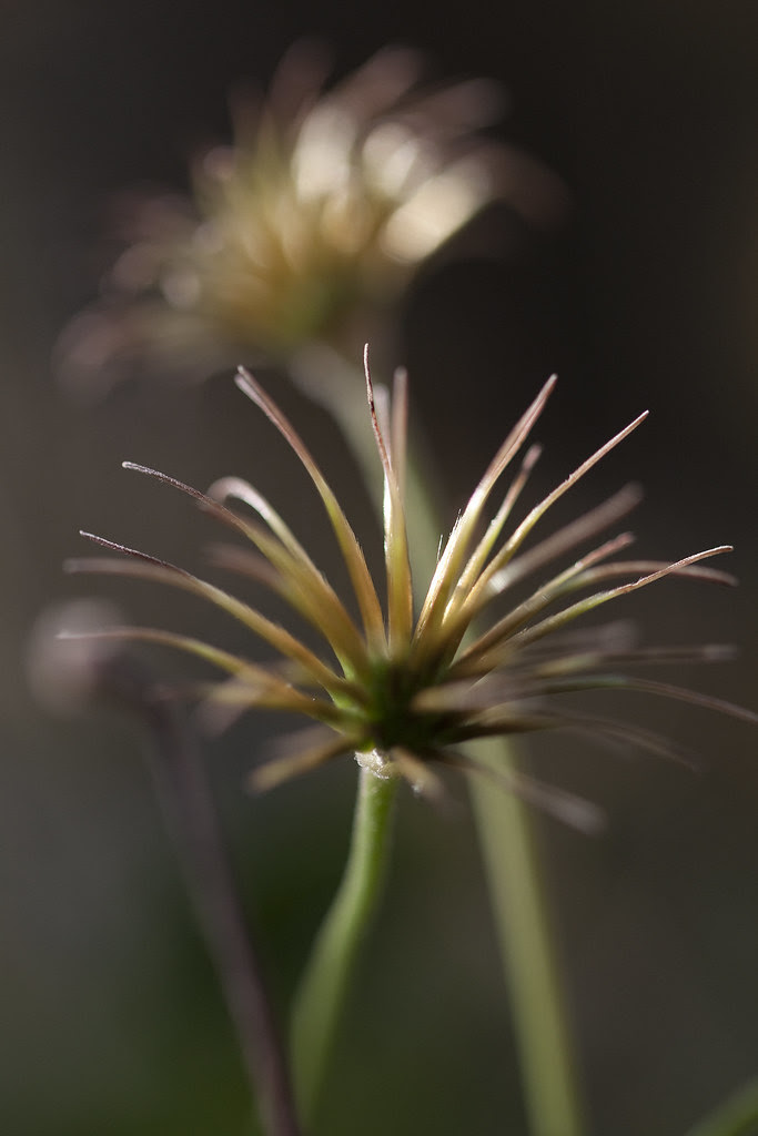clematis heads2