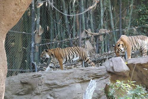 Tigers walking around