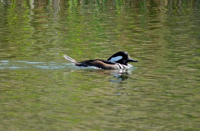 24234 - Hooded Merganser, Radipole Lake
