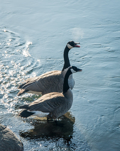 vocal goose