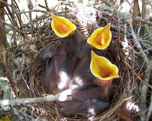 hungrybirds
