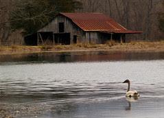 Swan and barn