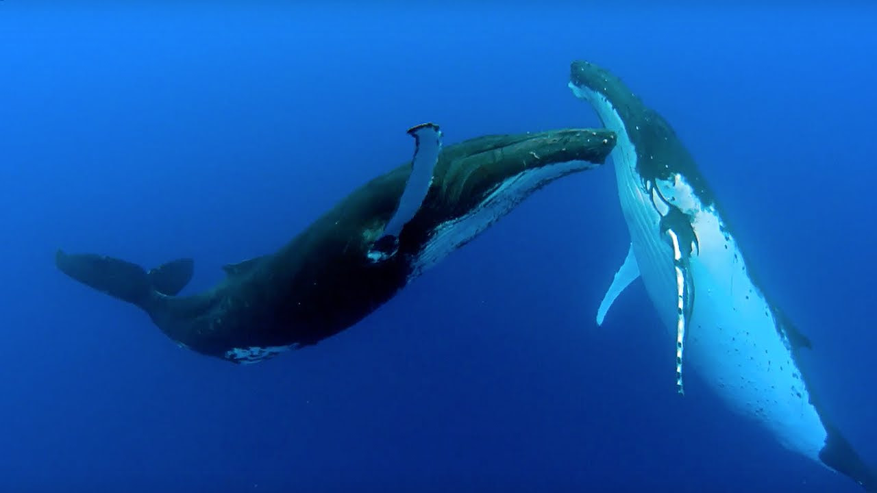 Two beautiful humpback whales dance | The Kid Should See This