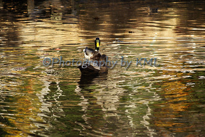 two ducks floating in the water in the autumn