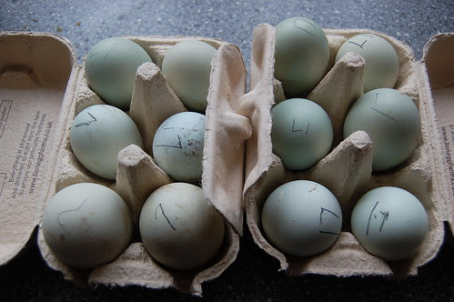 fertilised eggs Mar 13
