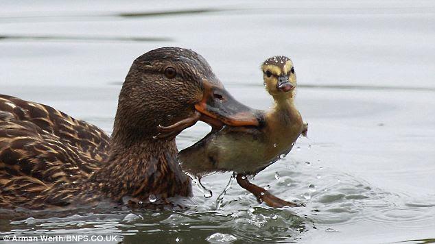 Induk bebek menghukum bebek kecil yg nakal !