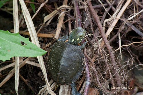 Our Baby Painted Turtle (Chrysemys picta)-83.jpg