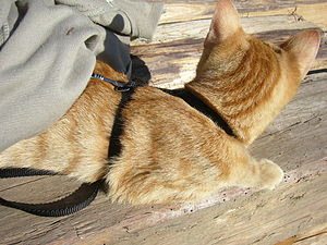 Leash for cats