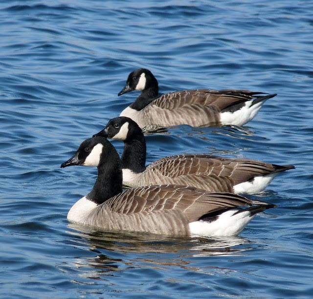 25572 - Canada Geese, Kenfig Pool