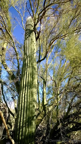 saguaro cactus, in the arms of a nurse plant