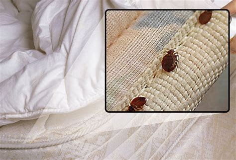 What Do Bed Bugs Look Like? Can You See Them?