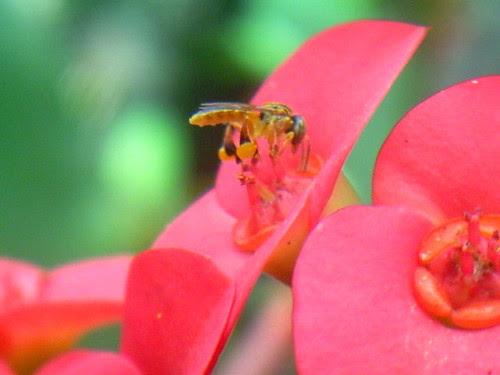 16- Abelha jataí coletando pólen da flor Coroa-de-Crito. 15-10-09