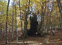 Por sus proporciones, el Abuelo es referencia entre los árboles de la provincia de Ávila. / MARGA ESTEBARANZ