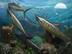 durban natural history museum - barracuda