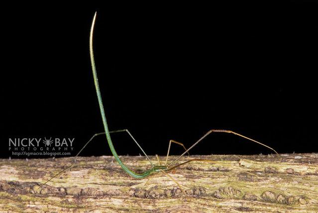 Twig Spider (Ariamnes sp.) - DSC_5901