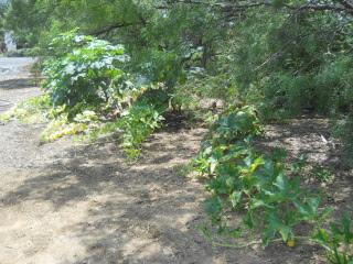 Pumpkin & Okra Plants