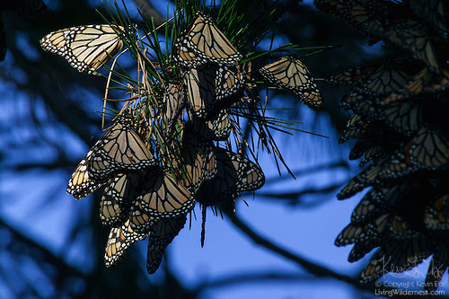 Cluster of Monarch Butterflies at Dawn, Pacific Grove, California