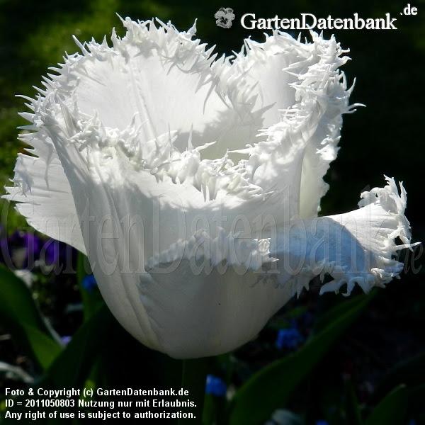 Späte weiße Tulpe gefranst (Tulipa Crispa)