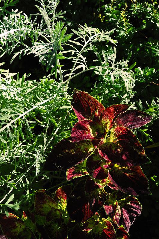 Eyre Hall (Centaurea and Coleus)