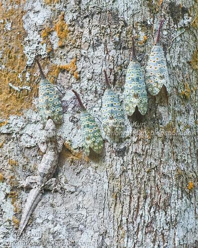 Pyrops oculata & Frilly Gecko IMG_2807 copy