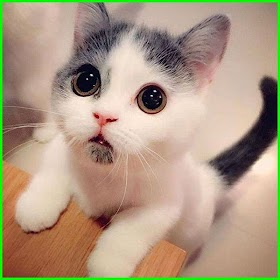 Foto Kucing Lucu Editan