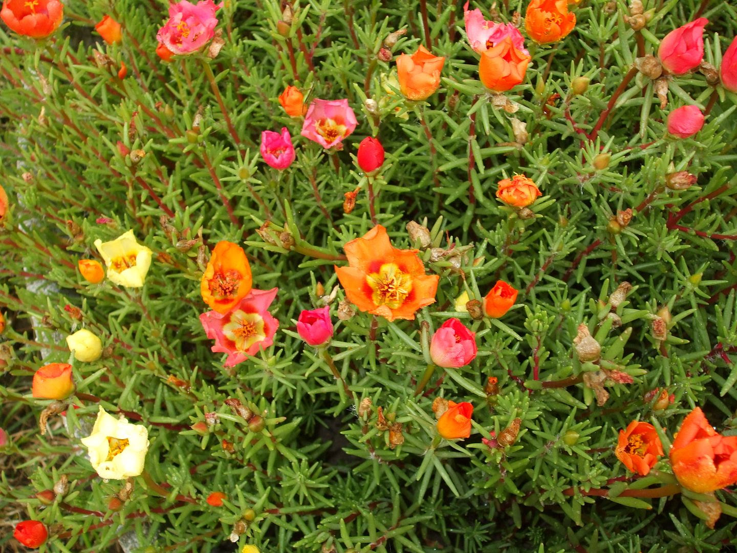 Portulaca by Angie Ouellette-Tower photo DSCF0890_zps6fc17f35.jpg
