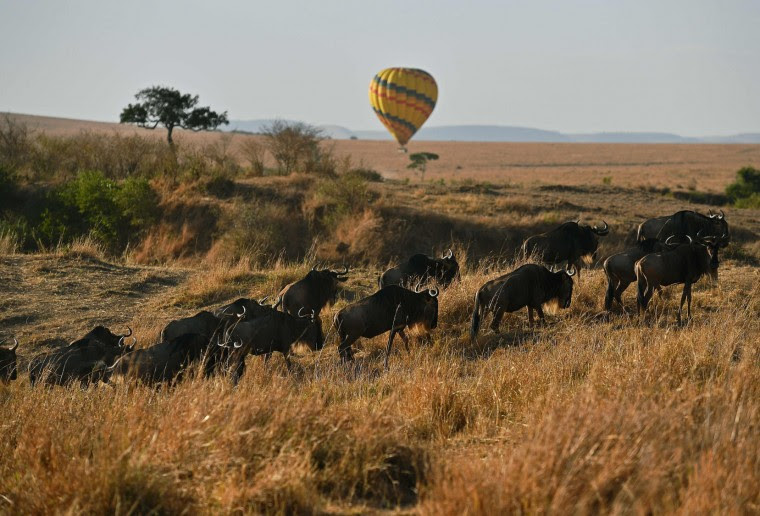 Wildebeest walk in front a hot air balloon during the annual wildebeests migration in the Masai Mara game reserve on September 12, 2016. (Carl de Souza/AFP/Getty Images)